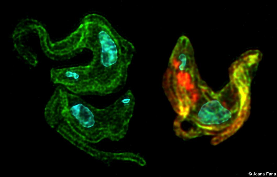 The VEX'ed Trypanosome